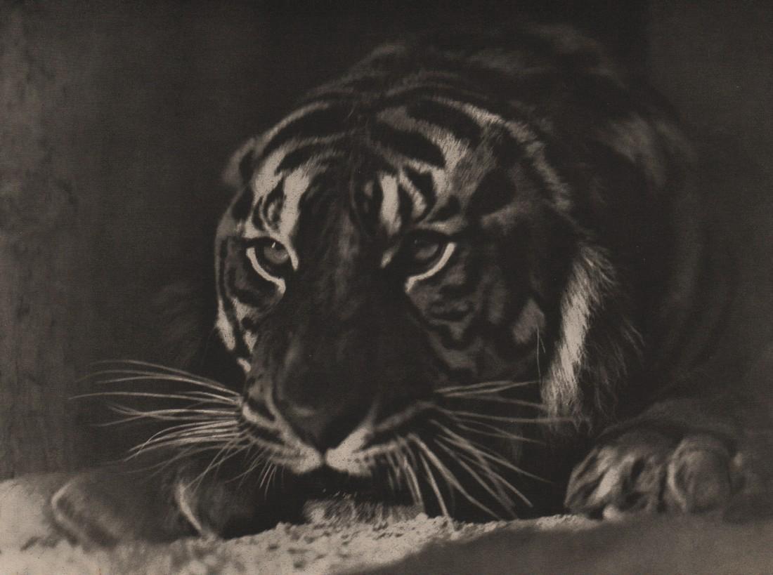 F. HAUCHENCORNE - Tiger