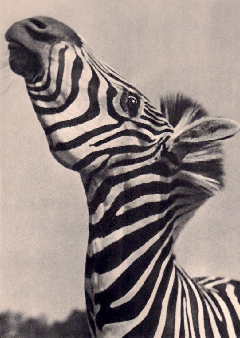 YLLA - Zebra