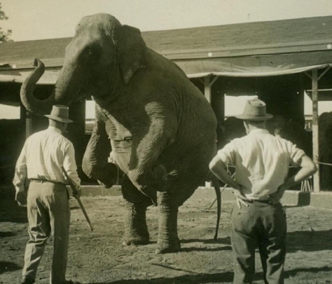 1930s Circus Routine Snapshot Animal Trainer Elephant