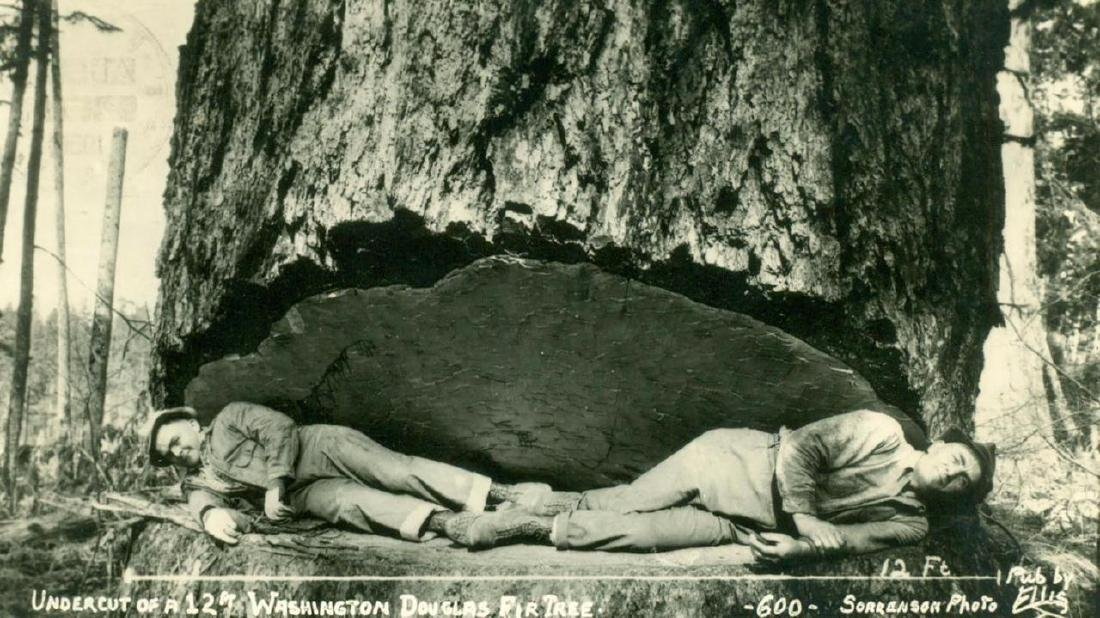 1950 Washington Giant Tree 2 Logging Logger Men
