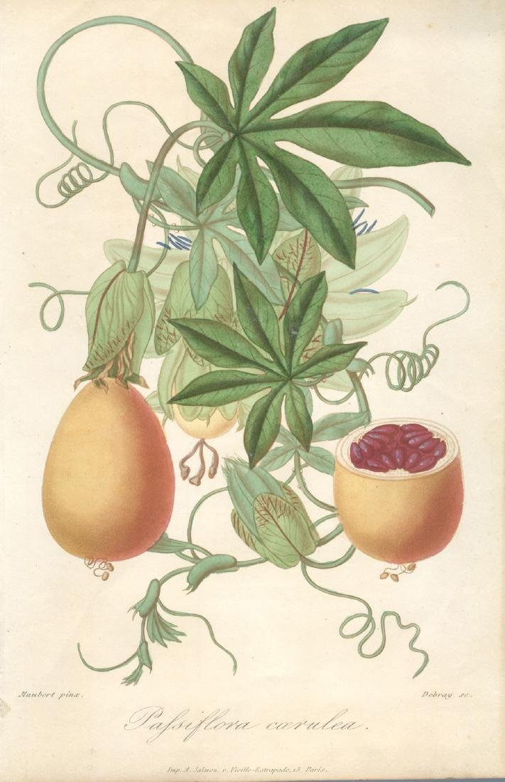Francois Herincq Lithograph Pafsiflora Coerulea