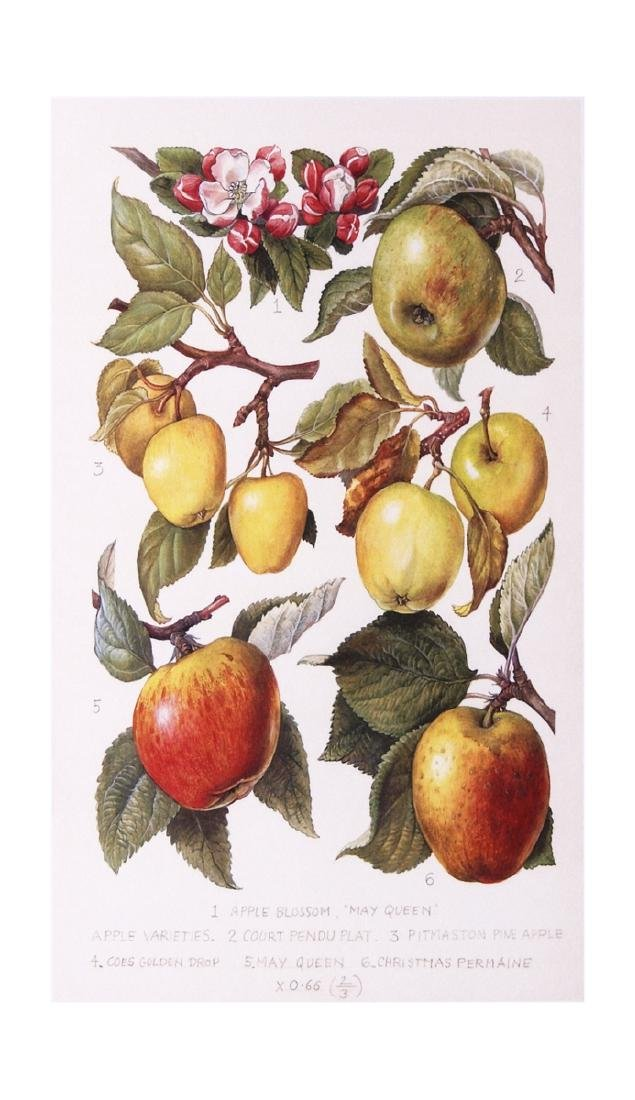 Unknown Offset Lithograph Apples