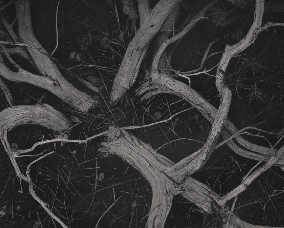 ANSEL ADAMS - Manzanita Twigs, Sierra Nevada