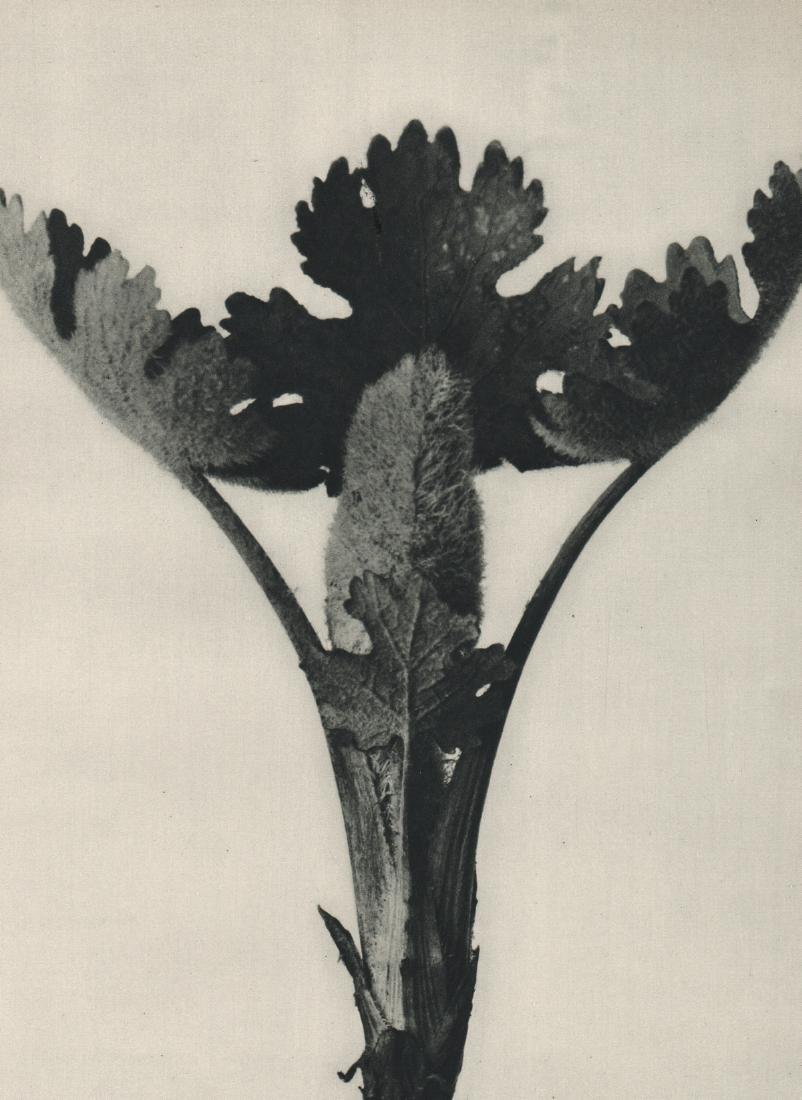 KARL BLOSSFELDT - Macleya cordata
