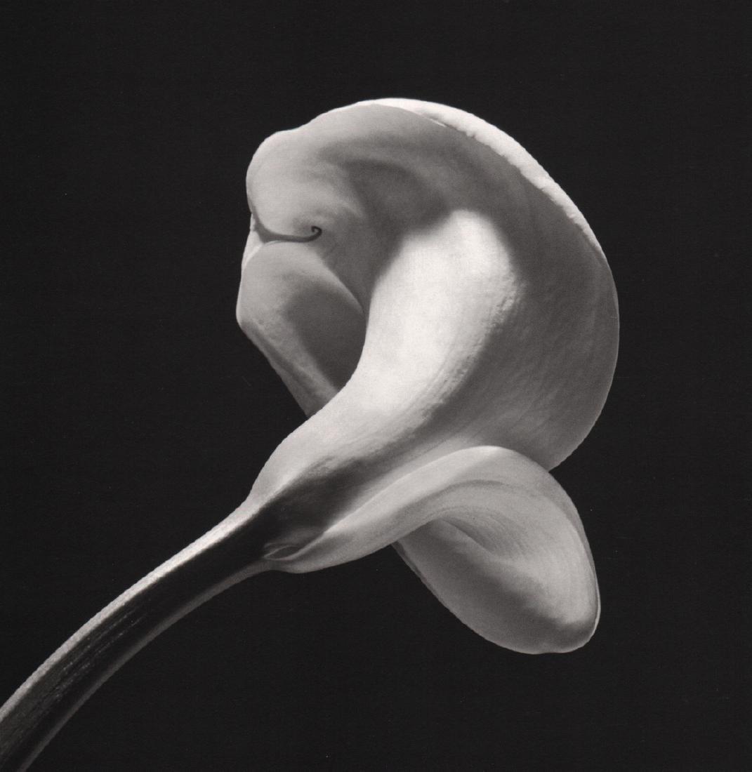 ROBERT MAPPLETHORPE - Calla Lily, 1984