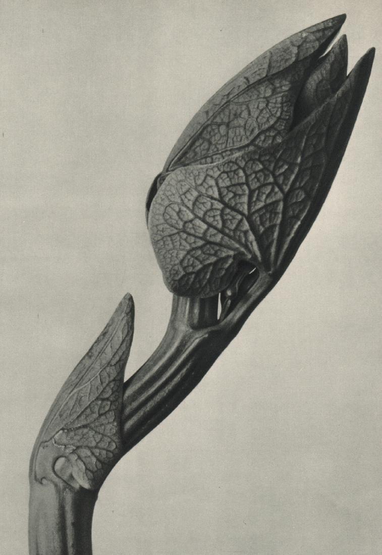 KARL BLOSSFELDT - Aristolochia clematis