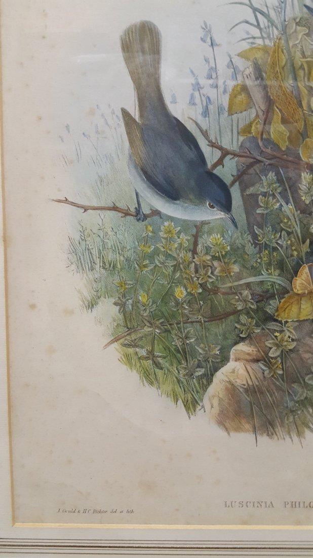 John Gould Lithograph Luscinia Philomela Nightingale - 10