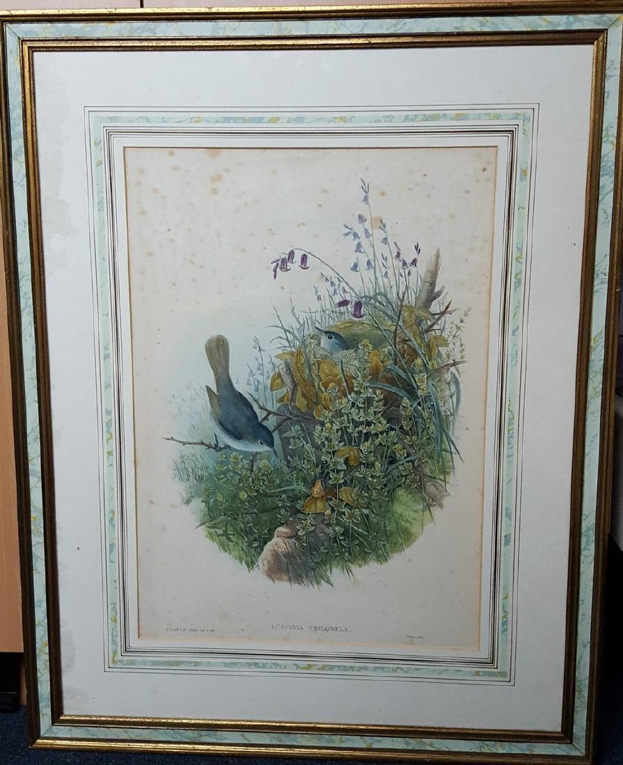 John Gould Lithograph Luscinia Philomela Nightingale