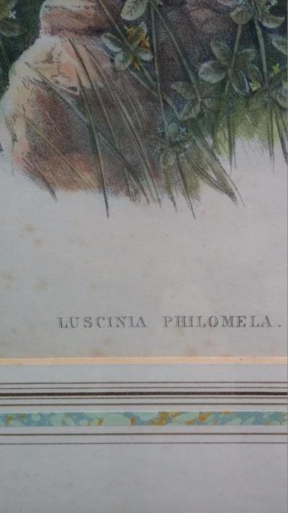 John Gould Lithograph Luscinia Philomela Nightingale - 3