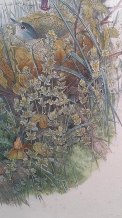 John Gould Lithograph Luscinia Philomela Nightingale - 4
