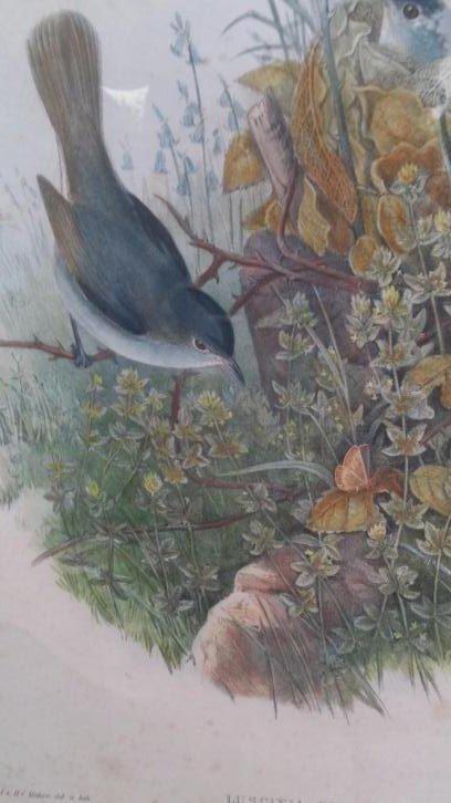 John Gould Lithograph Luscinia Philomela Nightingale - 5