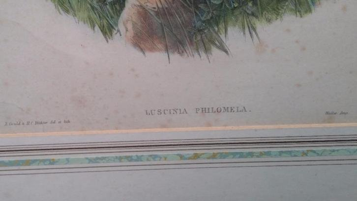 John Gould Lithograph Luscinia Philomela Nightingale - 6