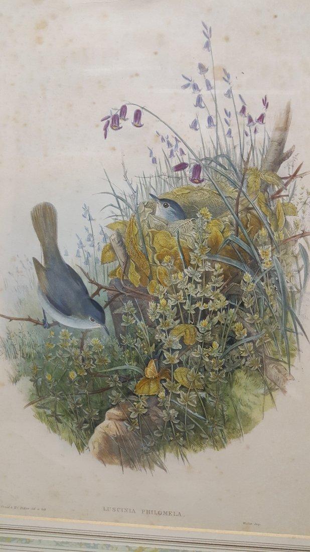 John Gould Lithograph Luscinia Philomela Nightingale - 7