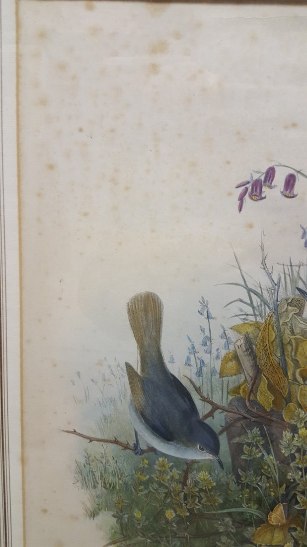 John Gould Lithograph Luscinia Philomela Nightingale - 9