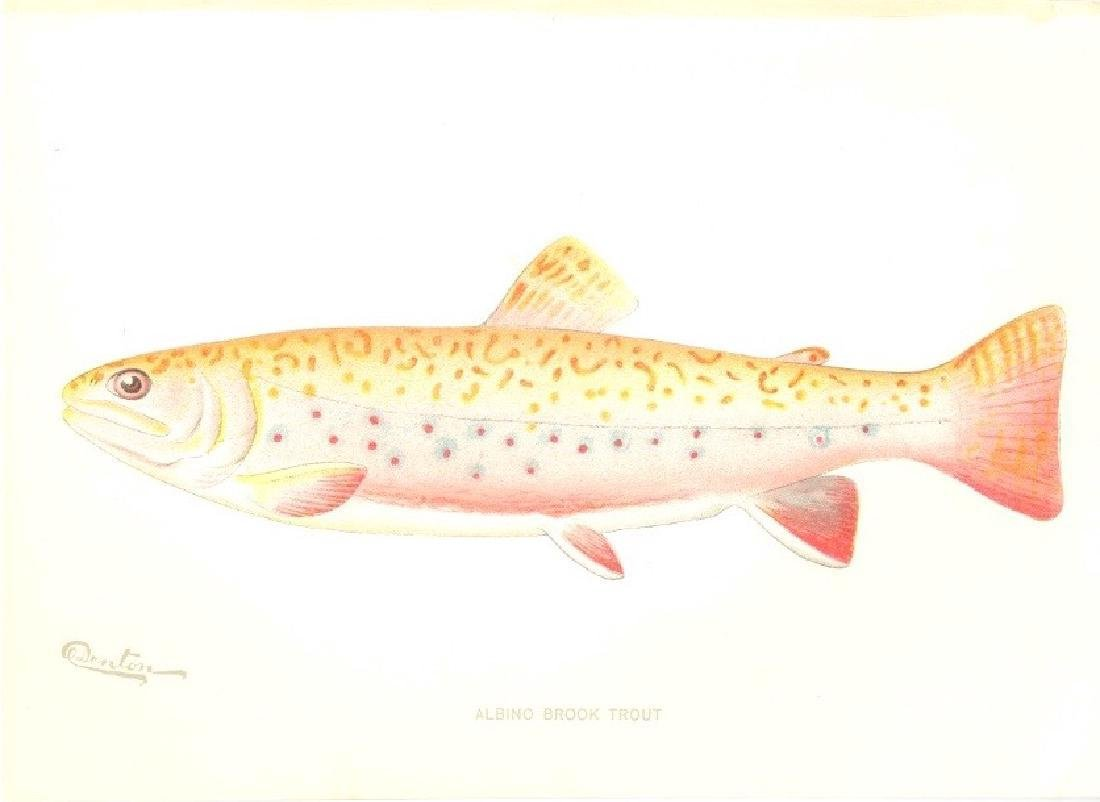 Albino Brook Trout 1900 Chromolithograph