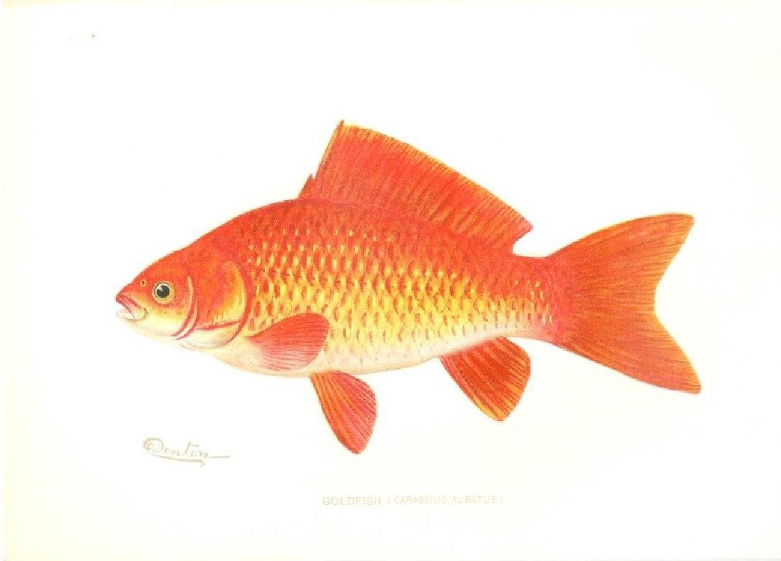 Sherman F. Denton Goldfish 1900 Chromolithograph