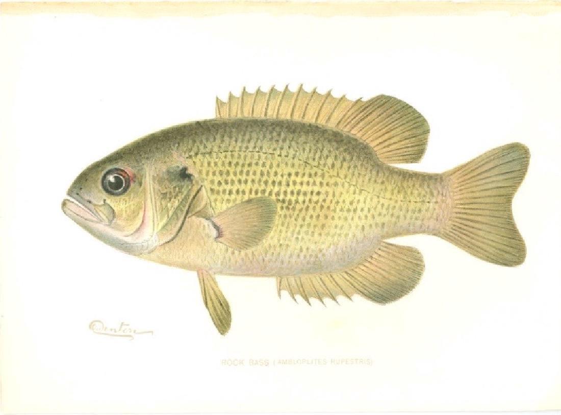 Sherman F. Denton Rock Bass 1900 Chromolithograph