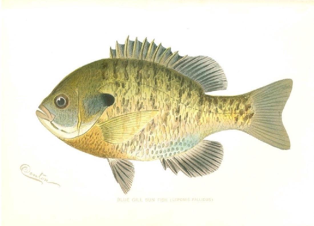 Sherman F. Denton Blue Gill Sun Fish Chromolithograph