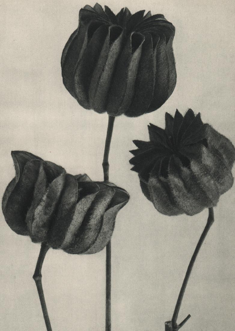 KARL BLOSSFELDT - Abutilon