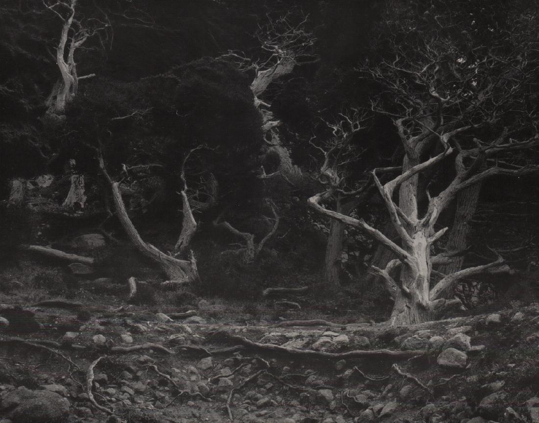 EDWARD WESTON - Cypress Grove, 1940