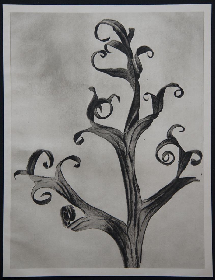 KARL BLOSSFELDT - Delphinium Ritterspoon Larkspur