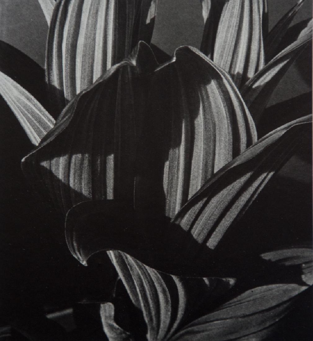 IMOGEN CUNNINGHAM - False Hellebore 1926