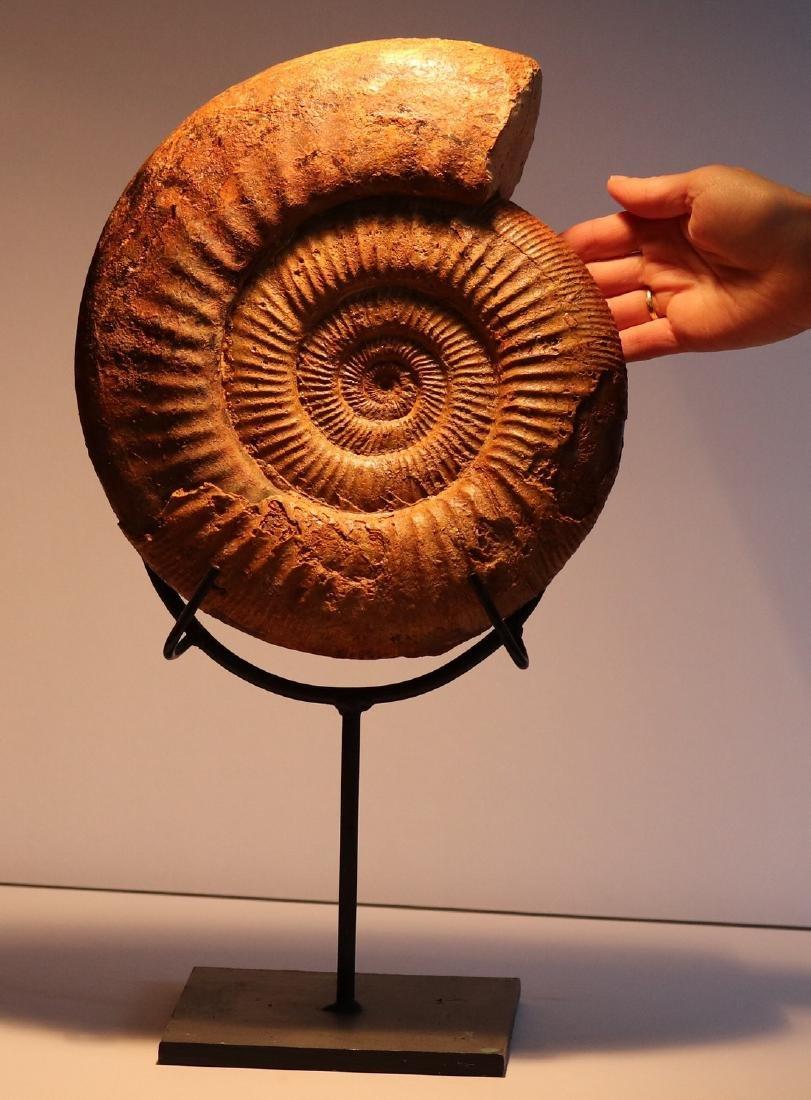 Huge ammonite on stand : dichotomosphinctes antecedens