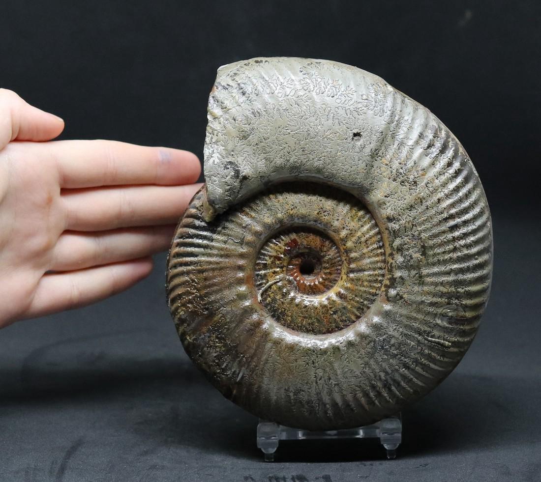 Jurassic ammonite : Hammatoceras speciosum