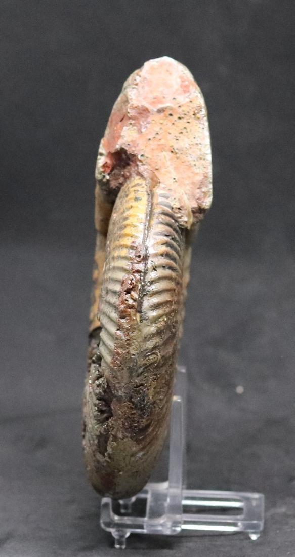 Jurassic ammonite : Hammatoceras speciosum - 2