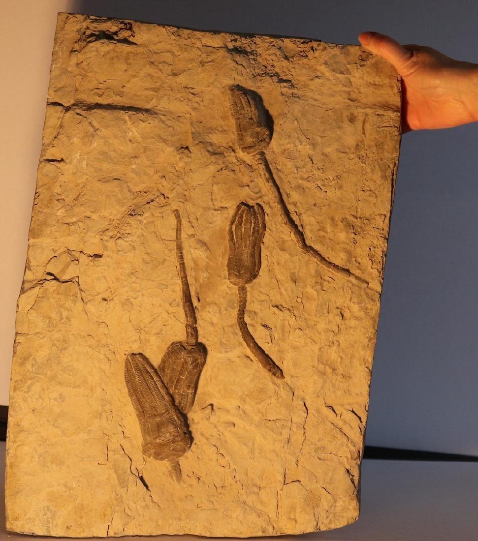 Museum quality big crinoid slab : encrinus liliiformis