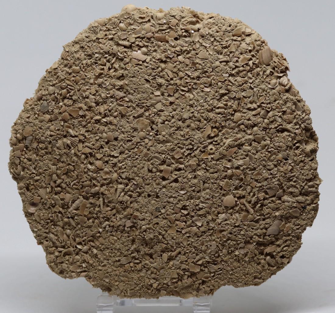 Parascutella producta - 4