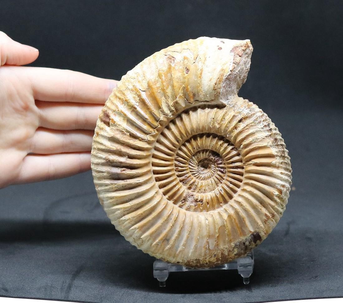 Jurassic ammonite : Parawedekindia arduennensis