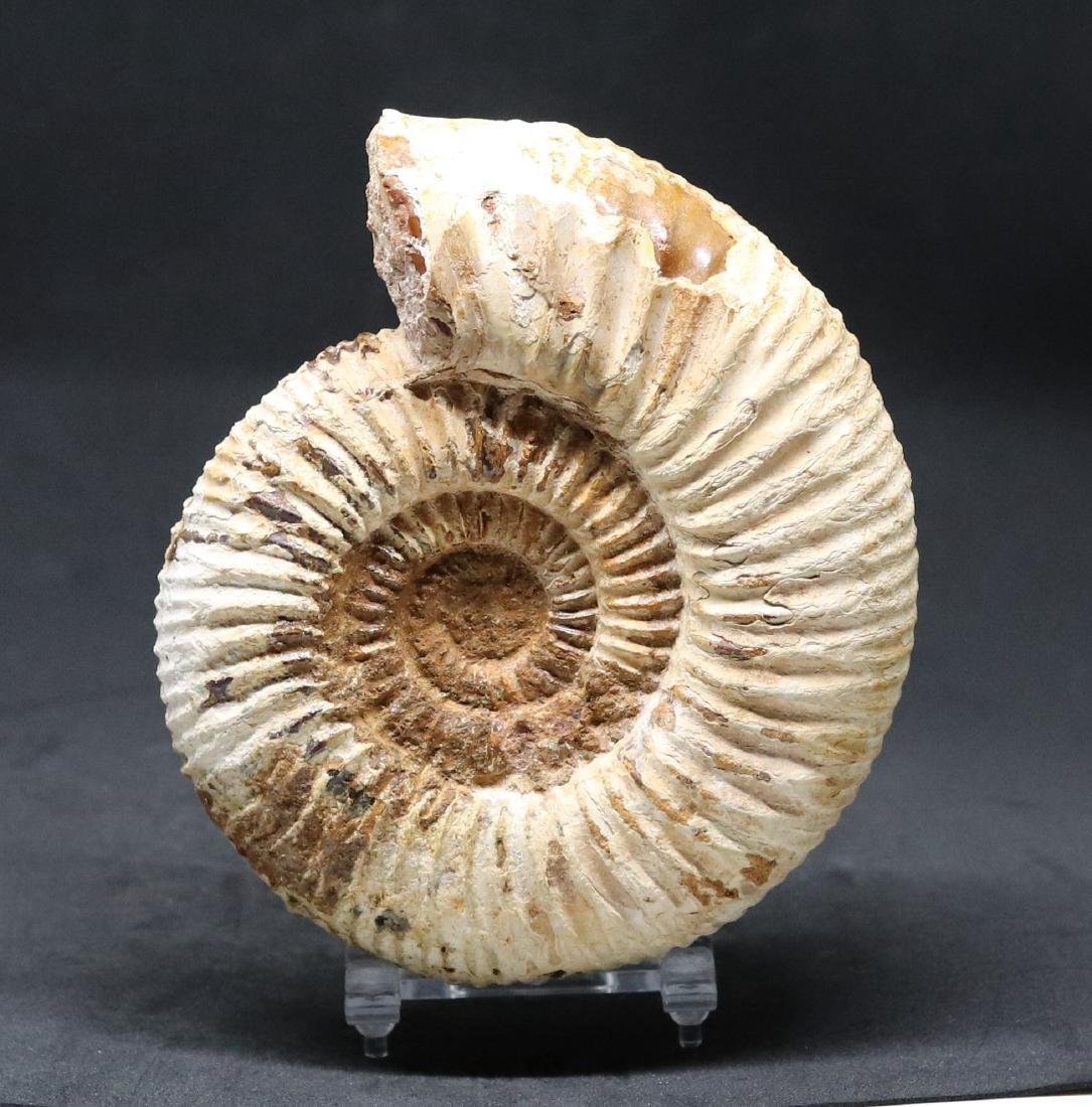 Jurassic ammonite : Parawedekindia arduennensis - 2