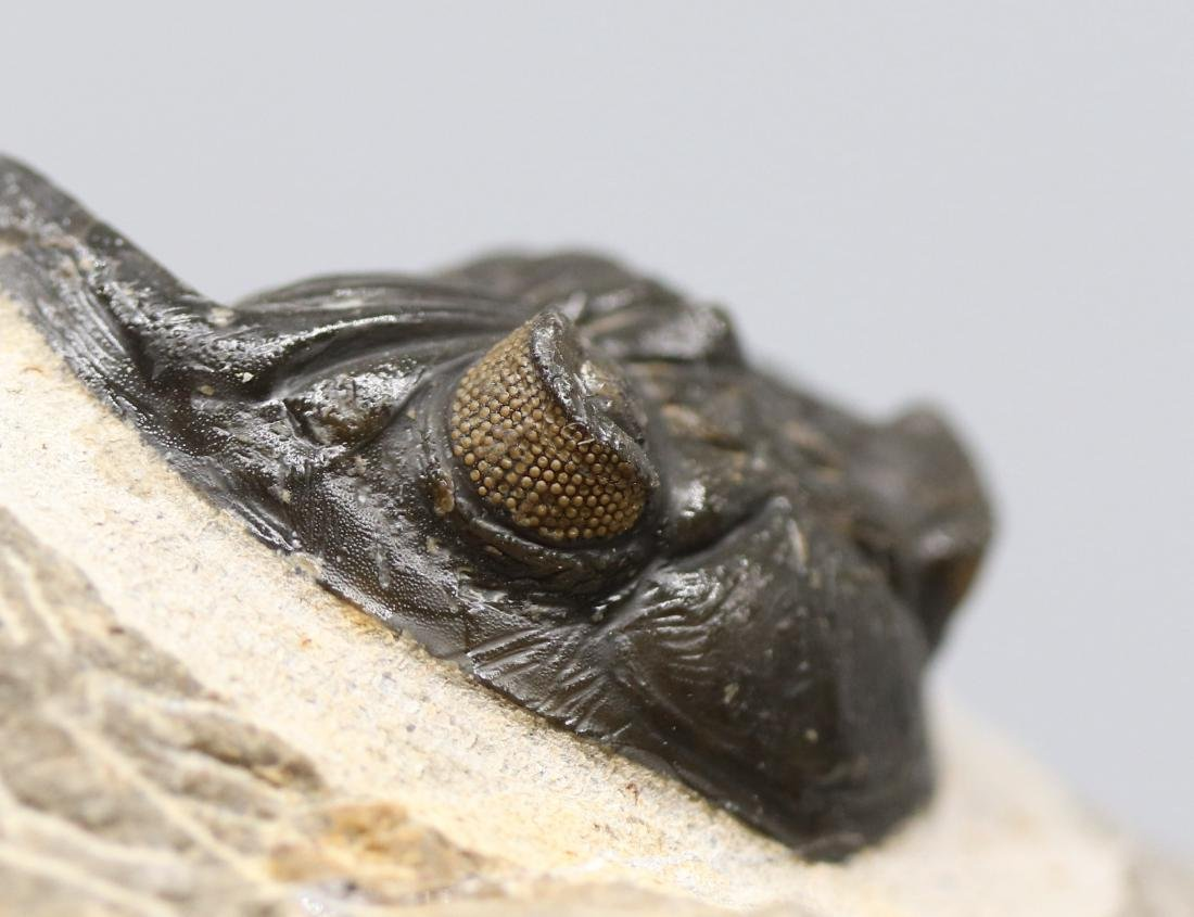 Fossil trilobite with yellow eyes: Hollardops - 2