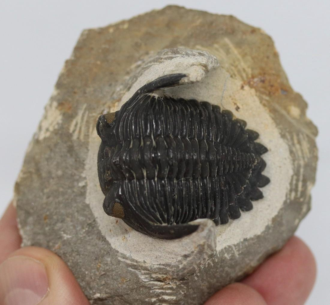 Fossil trilobite with yellow eyes: Hollardops - 4