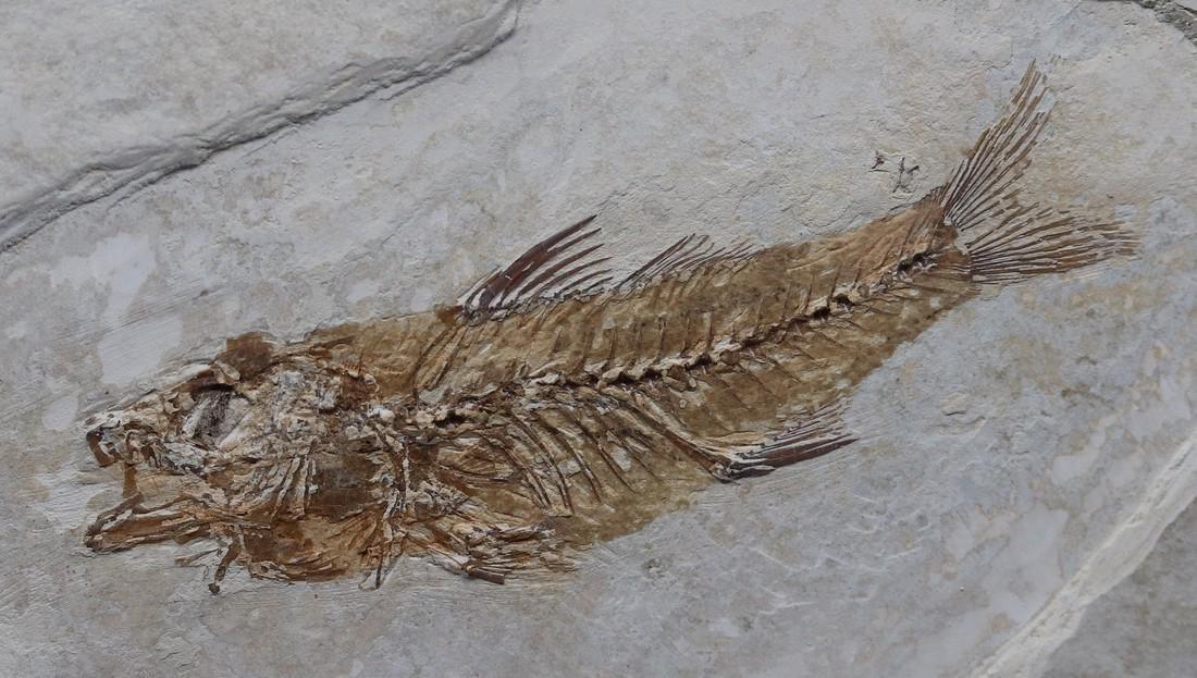 Fossil fish : Dapalis macrurus