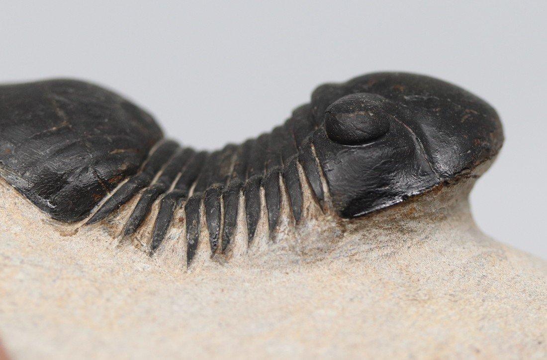 Fossil trilobite : Paralejurus rehamnanus