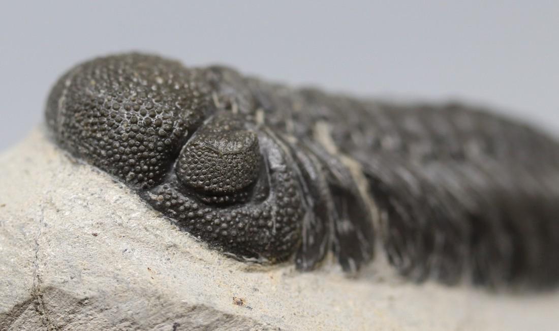 Fossil trilobite : Morocops granulops - 2