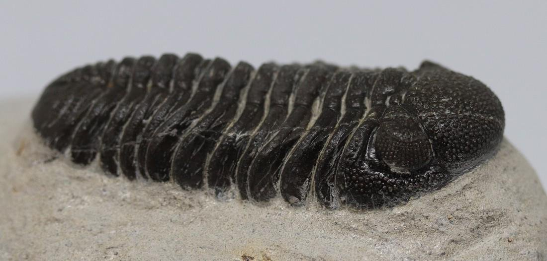 Fossil trilobite : Morocops granulops - 4