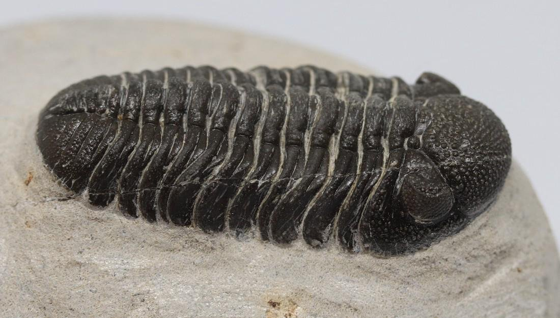 Fossil trilobite : Morocops granulops - 5