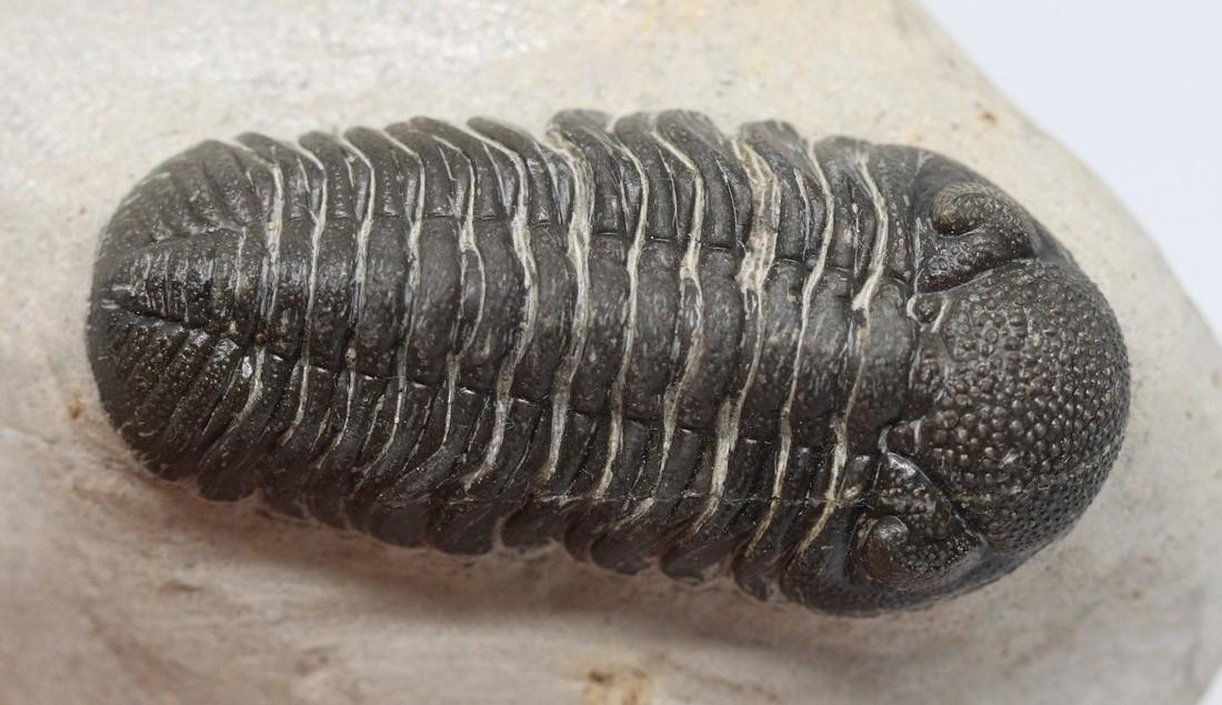Fossil trilobite : Morocops granulops - 6