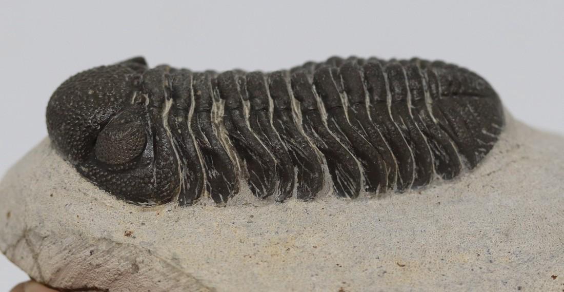 Fossil trilobite : Morocops granulops - 7
