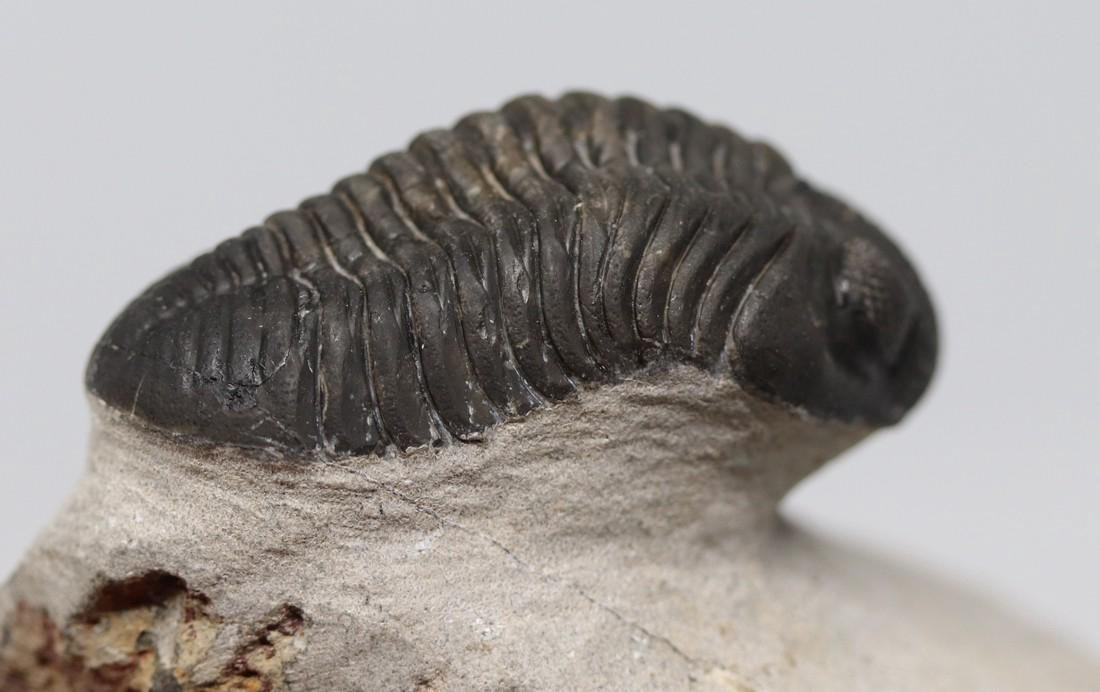 Fossil trilobite with perfect eyes : Hypsipariops - 4