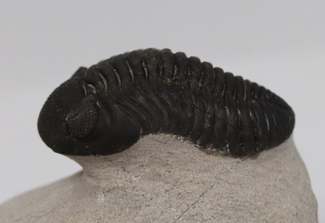 Fossil trilobite with perfect eyes : Hypsipariops - 6