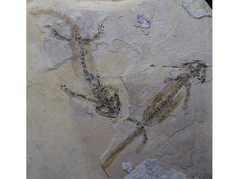 Fossil amphibian : 2x Branchiosaurus petrolei - 2