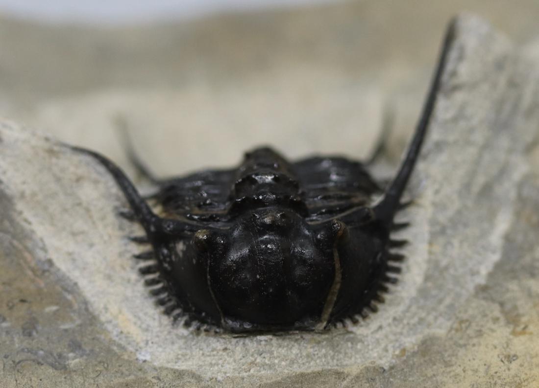 Extremely spiny fossil trilobite : Leonaspis haddanei
