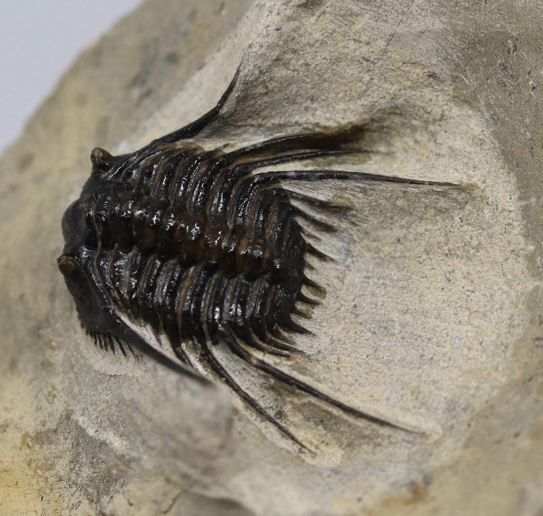 Extremely spiny fossil trilobite : Leonaspis haddanei - 3
