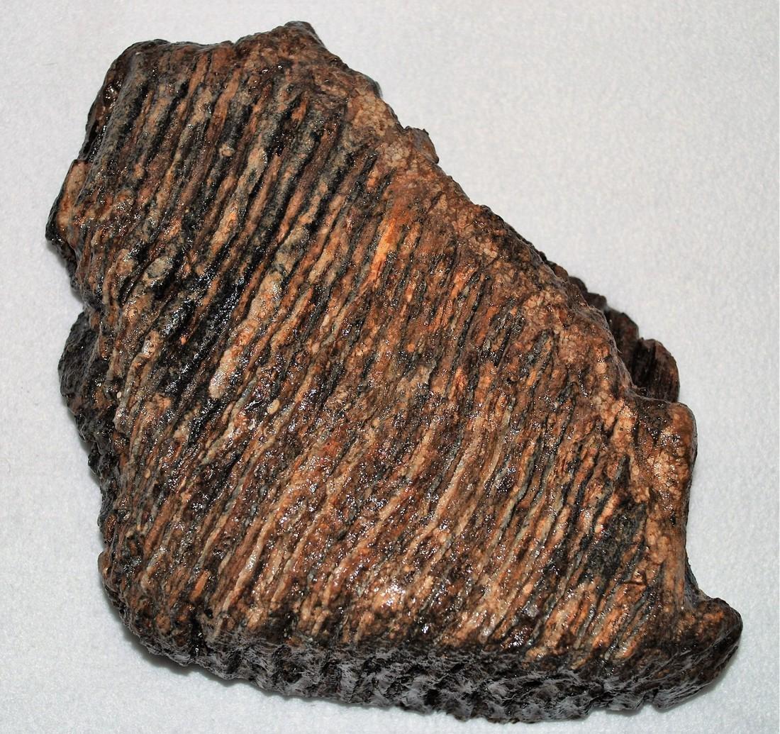 Woolly mammoth molar - 2
