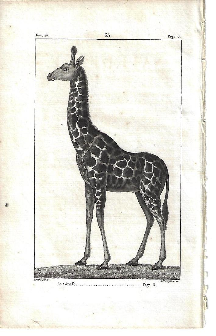 1821 Buffon Engraving of Giraffe