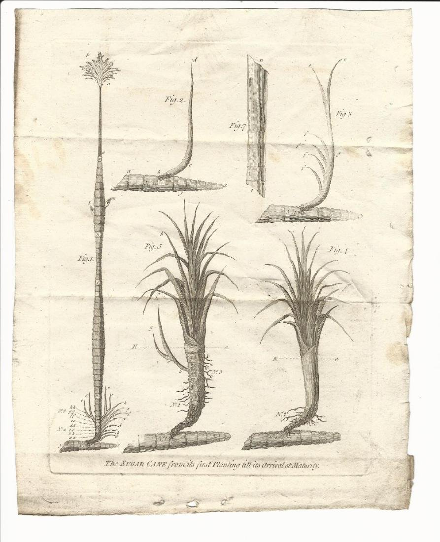 1779 Engraving of Sugar Cane